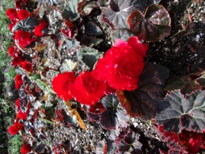 Begonias at Buchart Gardens in Victoria, BC, Canada.