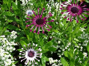 Purple and White Whirligig Daisies at Buchart Gardens in Victoria, BC, Canada
