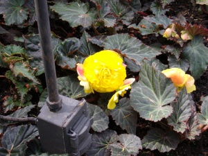 A beautiful yellow begonia at Buchart Gardens, Victoria, BC, Canada